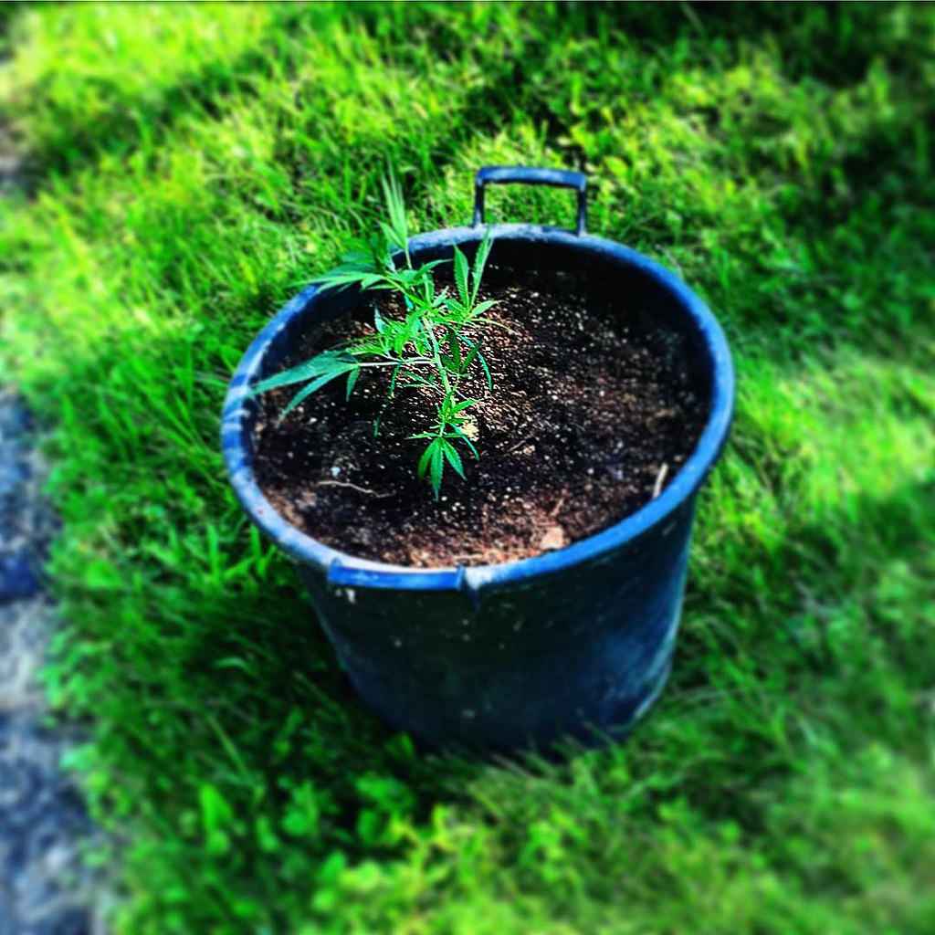 cannabis-plant-soil-outdoors-pot