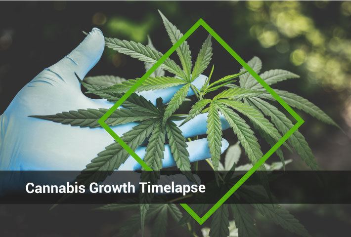 Cannabis_Grownth_Timelapse_Header