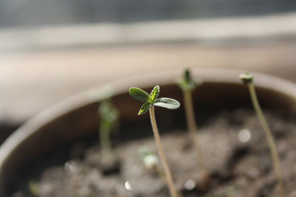 seedling-cannabis