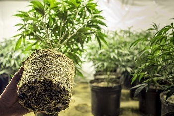 Best Nutrients for Growing Cannabis